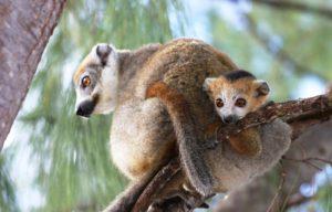 Madagascar lemuri Mokoro